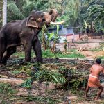 Resident Temple Elephant in Palakkad, Kerala, unfortunately died in 2018 due to Foot Infection
